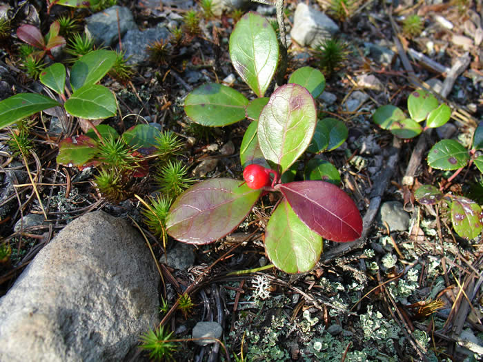 Wild red berries seen all over the island