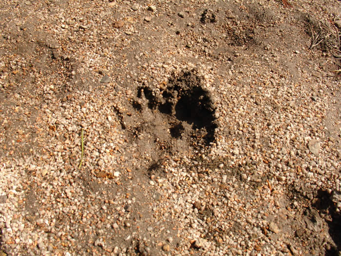 Who or what has stepped here? Bear perhaps?