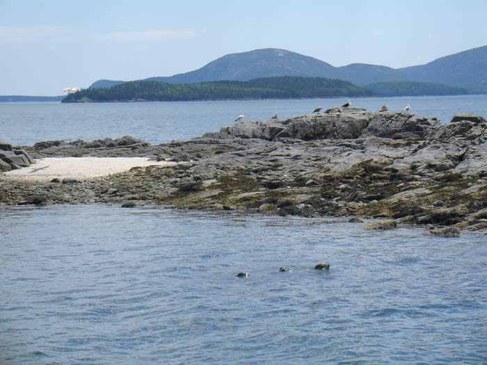 Harbor and Gray Seals off the coast of Mount Desert Island, Maine near Bar Harbor